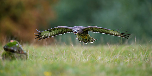 BRD 08 AC0009 01 © Kimball Stock Common Buzzard Soaring Over Lower Saxony, Germany