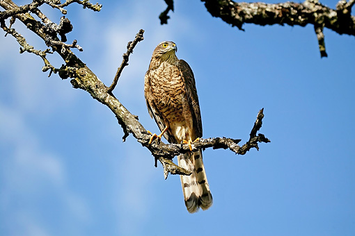 BRD 08 GL0004 01 © Kimball Stock European Sparrowhawk Perched On Tree Branch Against Blue Sky