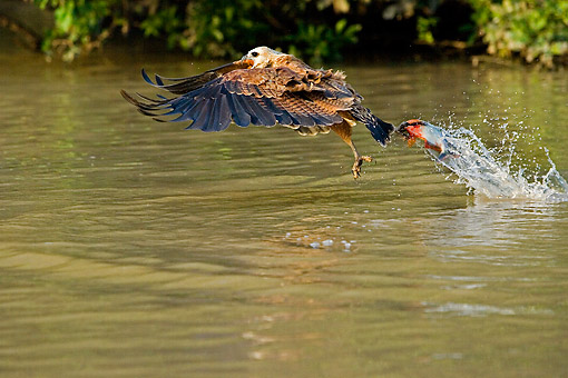BRD 08 GL0005 01 © Kimball Stock Black-Collared Hawk Fishing In River In Los Lianos, Venezuela