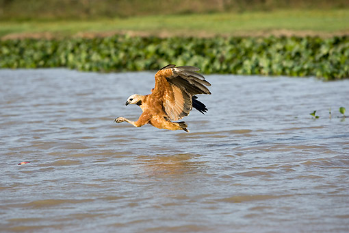 BRD 08 GL0006 01 © Kimball Stock Black-Collared Hawk Fishing In River In Los Lianos, Venezuela