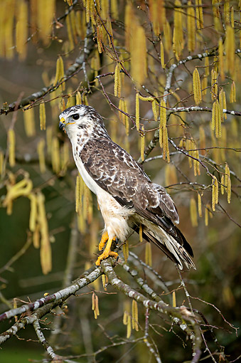 BRD 08 GL0008 01 © Kimball Stock Common Buzzard Perching On Tree In France