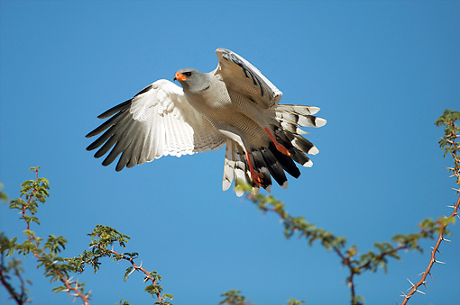 BRD 08 HP0001 01 © Kimball Stock Pale Chanting Goshawk Flying Against Blue Sky Kgalagadi Transfrontier Park, South Africa
