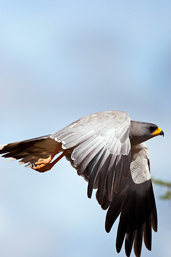 BRD 08 MC0003 01 © Kimball Stock Eastern Chanting Goshawk In Flight Kenya