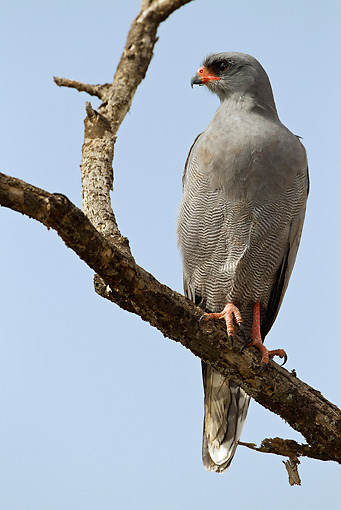 BRD 08 MC0004 01 © Kimball Stock Pale Chanting Goshawk Perched In Tree Tanzania
