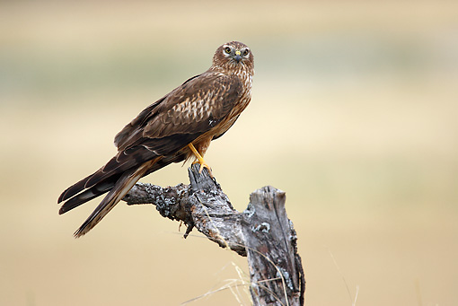 BRD 08 WF0002 01 © Kimball Stock Northern Harrier Perched On Dead Branch