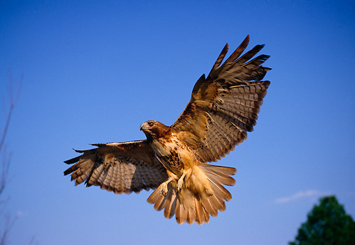 BRD 08 DB0001 01 © Kimball Stock Red-tailed Hawk Flying In Blue Sky