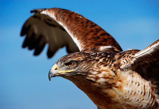 BRD 08 DB0003 01 © Kimball Stock Close Up Of Ferruginous Hawk Spreading Wings With Blue Sky