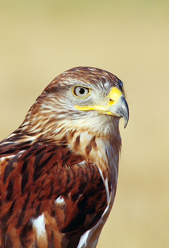 BRD 08 TK0001 01 © Kimball Stock Shoulder Shot Of Ferruginous Hawk