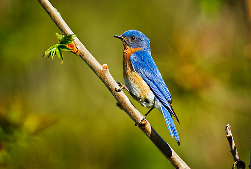 BRD 09 TK0001 01 © Kimball Stock Male Eastern Bluebird Perching On Branch Profile