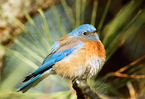 BRD 09 TL0001 01 © Kimball Stock Western Bluebird Male Sitting On Pine Branch