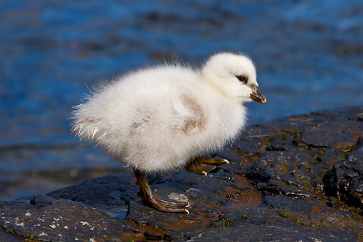 BRD 10 KH0008 01 © Kimball Stock Kelp Goose Chick Standing On Rocks By Water Falklands