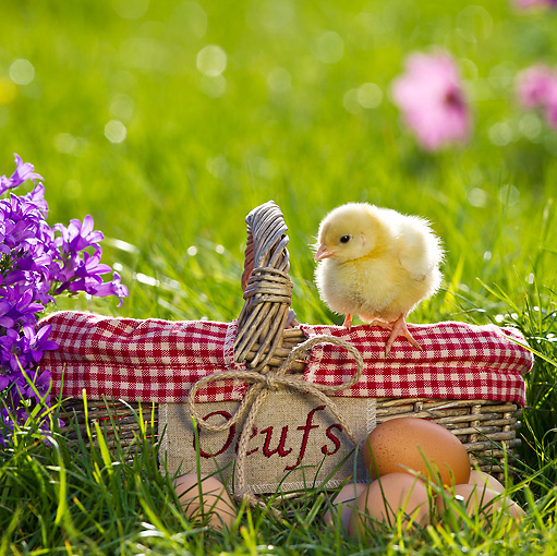 BRD 10 KH0009 01 © Kimball Stock Chick Standing On Edge Of Basket With Eggs In Spring Garden France