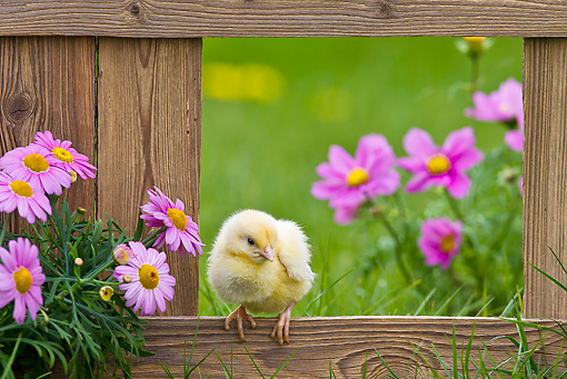 BRD 10 KH0010 01 © Kimball Stock Chick Standing On Fence By Spring Daisies And Pink Cosmos France