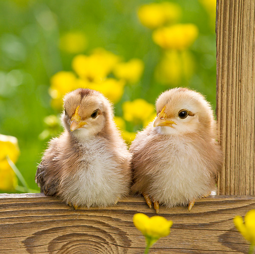 BRD 10 KH0012 01 © Kimball Stock Two Chicks Sitting On Fence By Buttercups In Spring France