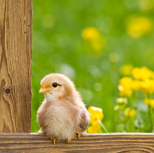 BRD 10 KH0013 01 © Kimball Stock Chick Sitting On Fence By Buttercups In Spring France