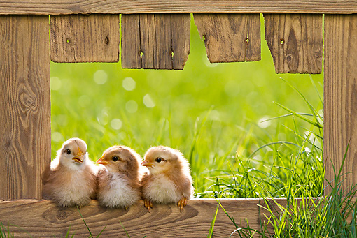 BRD 10 KH0014 01 © Kimball Stock Three Chicks Sitting On Fence In Spring France
