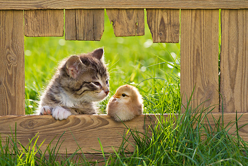 BRD 10 KH0015 01 © Kimball Stock Tabby Kitten Sniffing Chick Sitting On Fence In Spring France