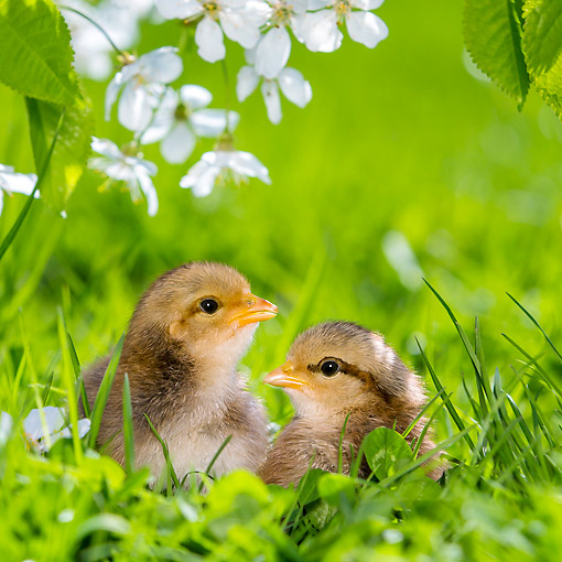 BRD 10 KH0018 01 © Kimball Stock Two Chicks Sitting In Grass By Cherry Blossoms In Spring France