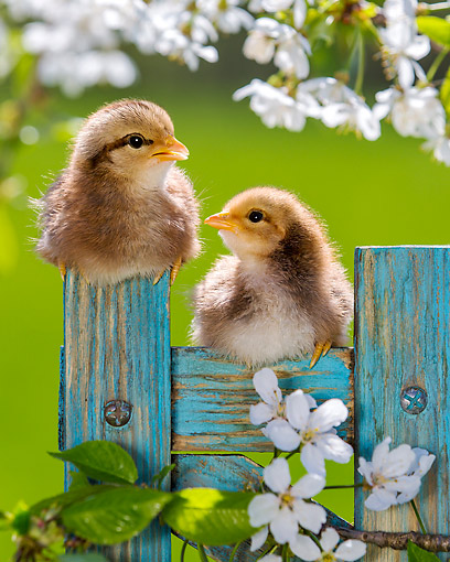 BRD 10 KH0019 01 © Kimball Stock Two Chicks Sitting On Fence By Cherry Blossoms In Spring France