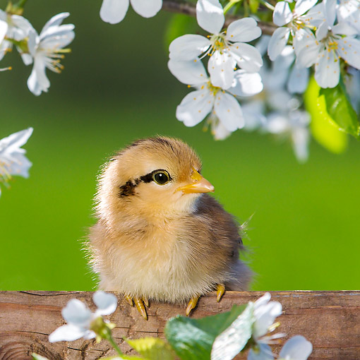 BRD 10 KH0020 01 © Kimball Stock Chick Sitting On Fence By Cherry Blossoms In Spring France