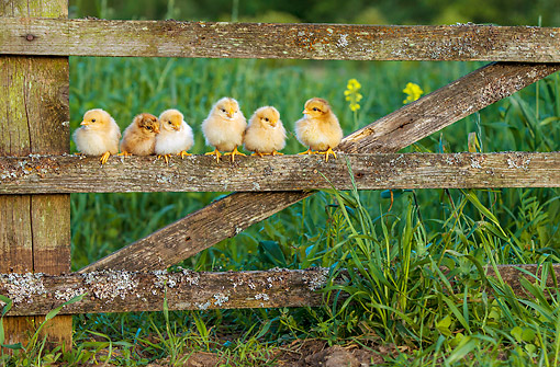 BRD 10 KH0021 01 © Kimball Stock Baby Chicks Sitting On Old Fence
