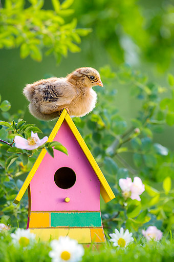 BRD 10 KH0022 01 © Kimball Stock Baby Chick Sitting On Top Of Bird House