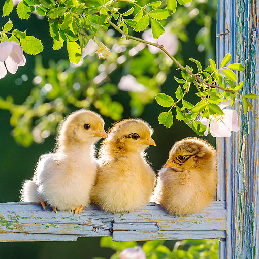 BRD 10 KH0024 01 © Kimball Stock Baby Chicks Sitting On Fence