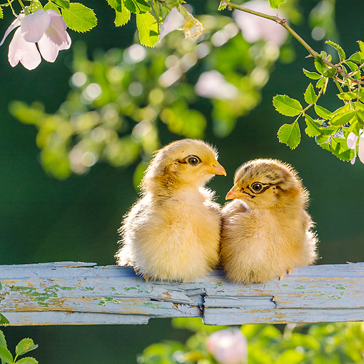 BRD 10 KH0025 01 © Kimball Stock Baby Chicks Sitting On Old Wooden Frame