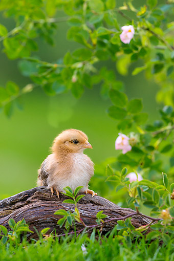 BRD 10 KH0028 01 © Kimball Stock Baby Chick Sitting On Root