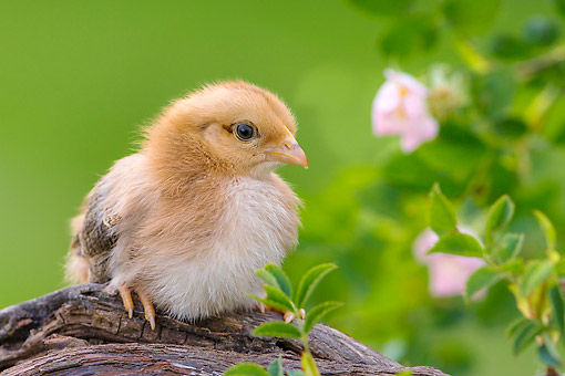 BRD 10 KH0029 01 © Kimball Stock Baby Chick Sitting On Root