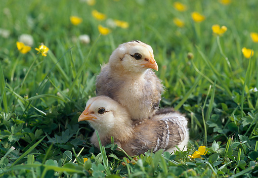 BRD 10 WF0004 01 © Kimball Stock Two Araucana Chicks Sitting In Grass