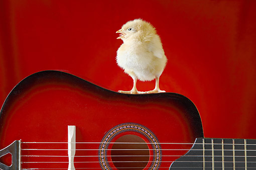 BRD 10 XA0001 01 © Kimball Stock Baby Chick Standing And Cheeping On A Guitar