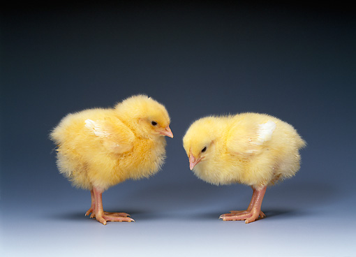 BRD 10 KH0004 01 © Kimball Stock Profile Of Two Chicks Standing