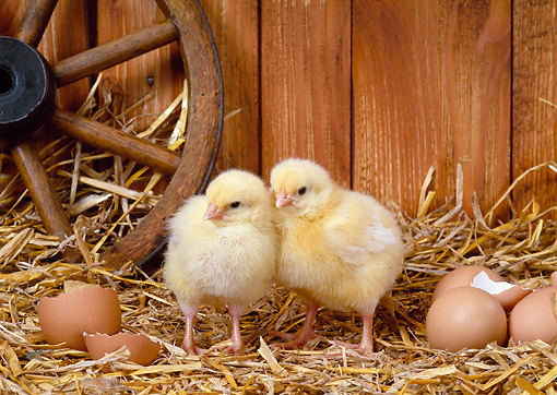 BRD 10 KH0005 01 © Kimball Stock Two Chicks Standing In Straw By Eggs And Eggshells