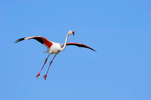 BRD 11 AC0007 01 © Kimball Stock Greater Flamingo Flying In The Camargue Region Of France