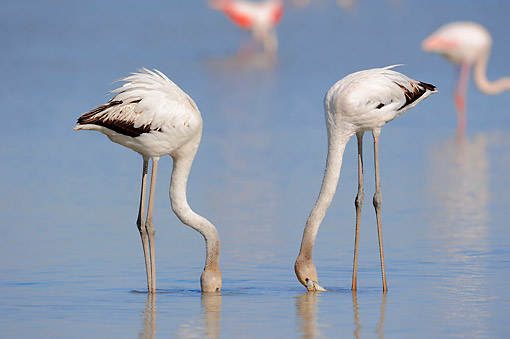 BRD 11 AC0010 01 © Kimball Stock Greater Flamingos Young Dipping Into Water In Camargue Region, Southern France