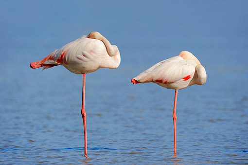 BRD 11 AC0011 01 © Kimball Stock Greater Flamingos Standing In Water In Camargue Region, Southern France