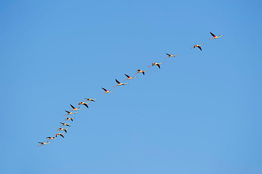 BRD 11 AC0012 01 © Kimball Stock Greater Flamingos Flying In Camargue Region, Southern France