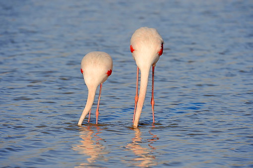 BRD 11 AC0013 01 © Kimball Stock Greater Flamingos Standing In Water In Camargue Region, Southern France