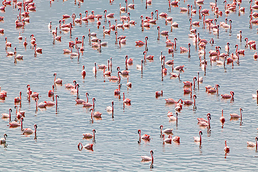 BRD 11 GL0005 01 © Kimball Stock Lesser Flamingo Colony At Bogoria Lake, Kenya