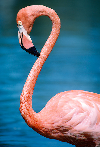 BRD 11 GR0003 01 © Kimball Stock Close-Up Of American Flamingo By Water