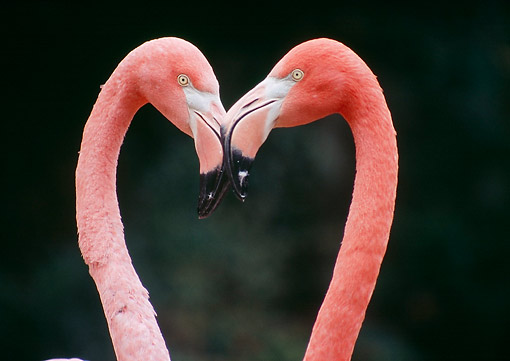 BRD 11 GR0004 01 © Kimball Stock American Flamingos Making Heart Shape