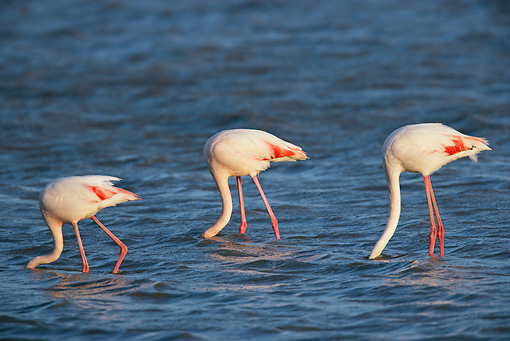 BRD 11 KH0001 01 © Kimball Stock Flamingos Standing In Shallow Water With Heads Dunked
