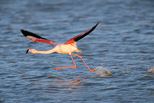 BRD 11 KH0002 01 © Kimball Stock Flamingo Taking Off From Water
