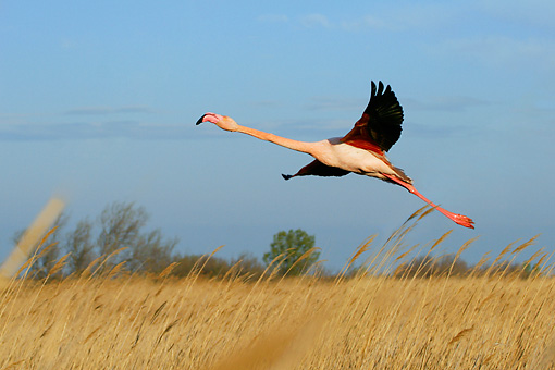 BRD 11 KH0003 01 © Kimball Stock Flamingo Taking Off From Field