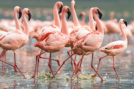 BRD 11 MC0002 01 © Kimball Stock Flock Of Lesser Flamingos Walking Through Water Kenya