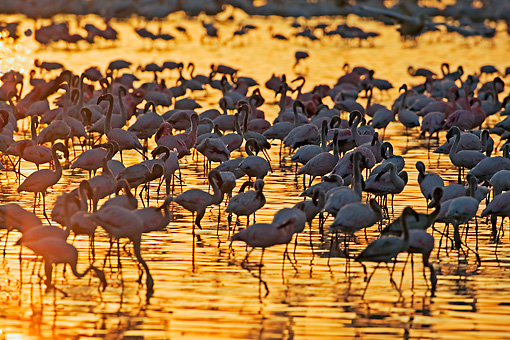 BRD 11 MH0002 01 © Kimball Stock Greater And Lesser Flamingos Standing In Lake At Sunset