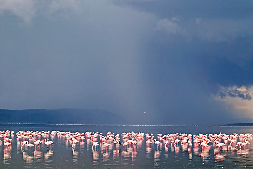 BRD 11 MH0003 01 © Kimball Stock Greater And Lesser Flamingos Standing In Lake
