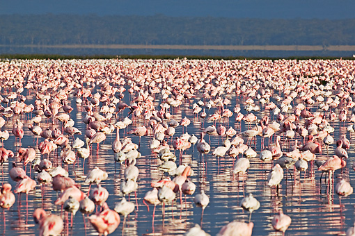 BRD 11 MH0004 01 © Kimball Stock Greater And Lesser Flamingos Standing In Lake
