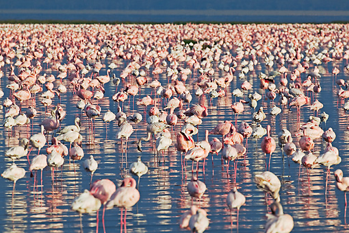 BRD 11 MH0005 01 © Kimball Stock Greater And Lesser Flamingos Standing In Lake